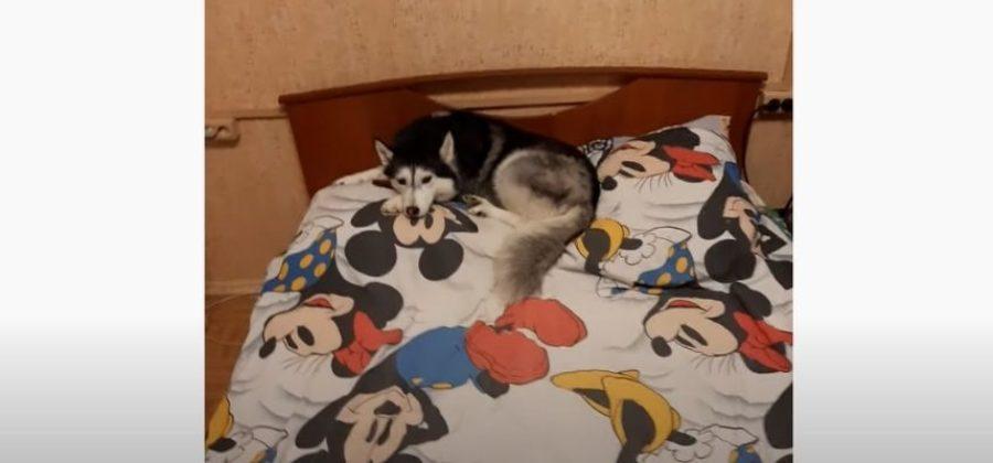 Собяка Феня опять дрыхнет на моей подушке
